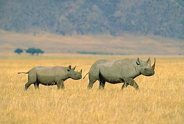 Black Rhinoceros (Diceros bicornis) mother and calf crossing savannah, Ngorongoro Crater, Tanzania