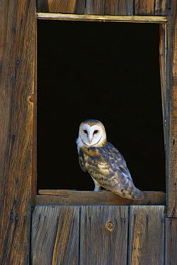 Barn Owl (Tyto alba) perching on barn window, North America