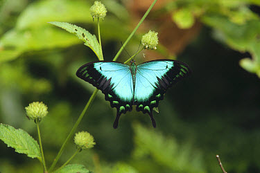 Ulysses Butterfly (Papilio ulysses) on plant stem, Indonesia  -  Konrad Wothe