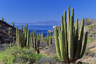 Cardon (Pachycereus pringlei) cactus landscape, Baja California, Mexico  -  Konrad Wothe