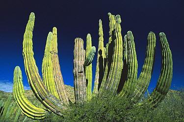 Cardon (Pachycereus pringlei) cactus, Baja California, Mexico  -  Konrad Wothe