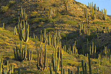 Cardon (Pachycereus pringlei) cactus forest, largest cacti in the world and may live over 200 years, Sonoran Desert, Baja California, Mexico  -  Konrad Wothe