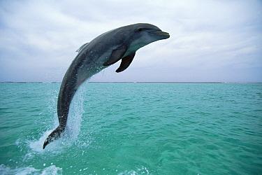 Bottlenose Dolphin (Tursiops truncatus) leaping, Honduras  -  Konrad Wothe