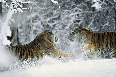 Siberian Tiger (Panthera tigris altaica) pair playing together in snow, natural range is from southeast Siberia to Manchuria, China  -  Konrad Wothe