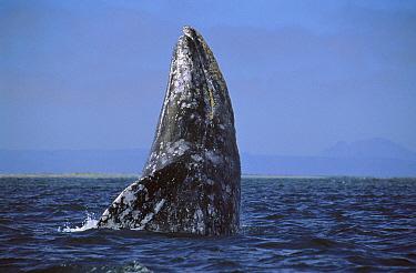 Gray Whale (Eschrichtius robustus) breaching, Mexico