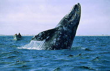 Gray Whale (Eschrichtius robustus) breaching while tourists watch, Mexico