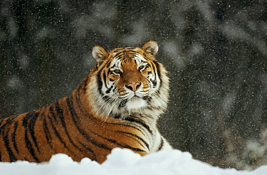 Siberian Tiger (Panthera tigris altaica) in snow storm, Siberian Tiger Park, Harbin, China