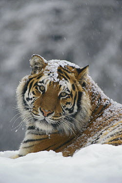 Siberian Tiger (Panthera tigris altaica) portrait in light snowfall, Siberian Tiger Park, Harbin, China  -  Konrad Wothe