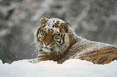 Siberian Tiger (Panthera tigris altaica) in snow fall, Siberian Tiger Park, Harbin, China