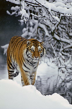 Siberian Tiger (Panthera tigris altaica) walking in snow, Siberian Tiger Park, Harbin, China  -  Konrad Wothe