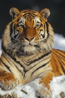 Siberian Tiger (Panthera tigris altaica) in snow, Siberian Tiger Park, Harbin, China