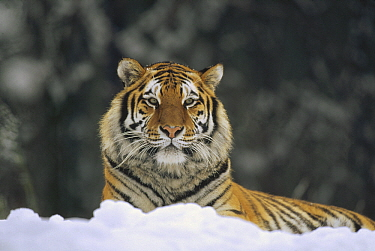 Siberian Tiger (Panthera tigris altaica) resting in snow, Siberian Tiger Park, Harbin, China
