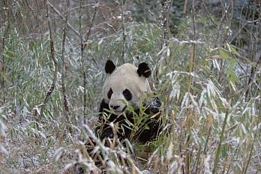 Giant Panda (Ailuropoda melanoleuca) in snow, eating bamboo, Wolong Valley, Himalaya, montane forests of China  -  Konrad Wothe