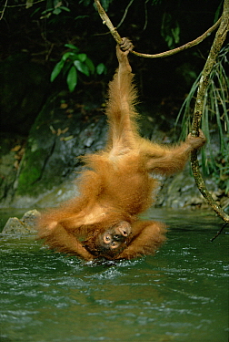 Orangutan (Pongo pygmaeus) bathing in river while hanging upside-down from vine, Gunung Leuser National Park, Sumatra, Indonesia