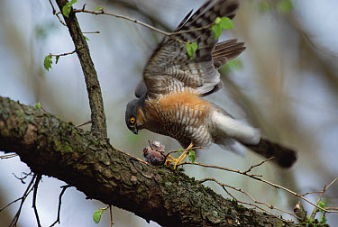 Eurasian Sparrowhawk (Accipiter nisus) with dead European Robin (Erithacus rubecula) in tree, Germany  -  Konrad Wothe