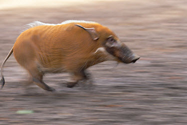 Bush Pig (Potamochoerus porcus) running, Africa  -  Konrad Wothe