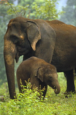 Asian Elephant (Elephas maximus) mother and calf, India  -  Konrad Wothe
