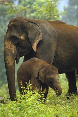 Asian Elephant (Elephas maximus) mother and calf, India  -  Konrad Wothe