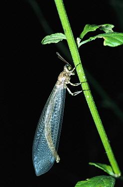 Antlion (Myrmeleon sp) on stem, Batanta Island, Irian Jaya, Indonesia  -  Konrad Wothe