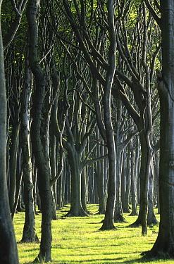 European Beech (Fagus sylvatica) forest in Nienhagen, Germany  -  Konrad Wothe