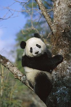 Giant Panda (Ailuropoda melanoleuca) in tree, Wolong Valley, Himalaya, China