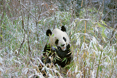 Giant Panda (Ailuropoda melanoleuca) eating bamboo, Wolong Valley, Himalaya, China  -  Konrad Wothe
