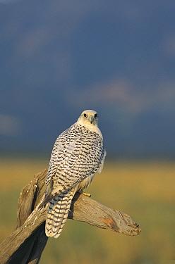 Gyrfalcon (Falco rusticolus) female, North America