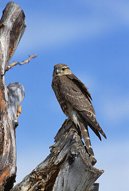 Merlin (Falco columbarius) perching on snag, North America  -  Konrad Wothe