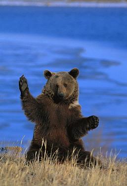 Brown Bear (Ursus arctos) sitting upright, Germany