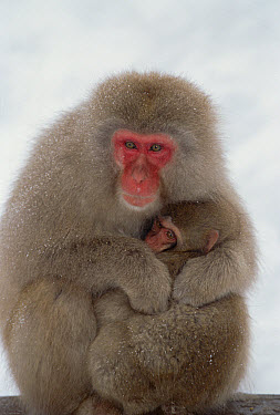 Japanese Macaque (Macaca fuscata) mother holding baby, Japanese Alps, Japan  -  Konrad Wothe