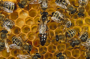 Honey Bee (Apis mellifera) colony and queen on honeycomb, North America