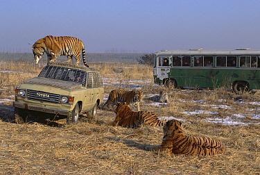 Siberian Tiger (Panthera tigris altaica) group with tourist vehicles, Siberian Tiger Park, Harbin, China  -  Konrad Wothe