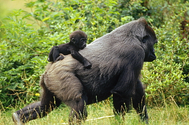 Western Lowland Gorilla (Gorilla gorilla gorilla) male carrying baby, central Africa