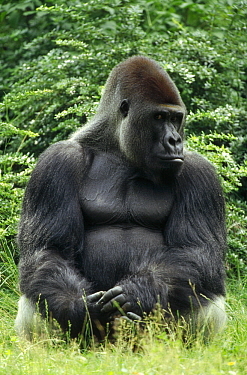 Western Lowland Gorilla (Gorilla gorilla gorilla) silverback, Africa