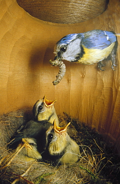 Blue Tit (Cyanistes caeruleus) parent delivering caterpillar to chicks in nest, Europe