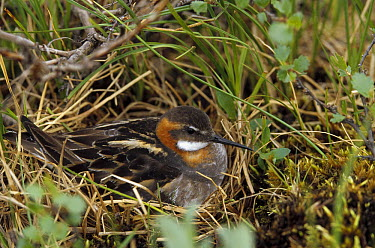 Red-necked Phalarope (Phalaropus lobatus) female on nest, Finland  -  Konrad Wothe