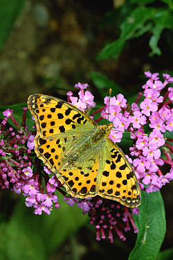 Queen of Spain Fritillary (Issoria lathonia) butterfly on flower, Europe  -  Konrad Wothe