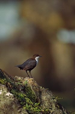 White-throated Dipper (Cinclus cinclus) perched on rock, Bavaria, Germany  -  Konrad Wothe