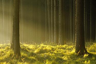 Sunlight filtering through Spruce forest, Bavaria, Germany  -  Konrad Wothe