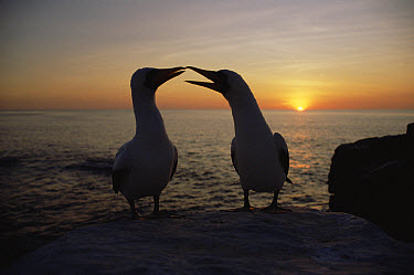 Masked Booby (Sula dactylatra) couple courting at sunset, Galapagos Islands, Ecuador  -  Konrad Wothe