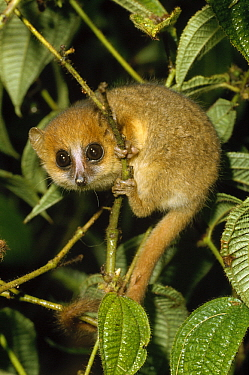 Brown Mouse Lemur (Microcebus rufus), Madagascar