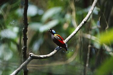 Wilson's Bird-of-paradise (Cicinnurus respublica) male, Batanta Island, Irian Jaya, Indonesia  -  Konrad Wothe