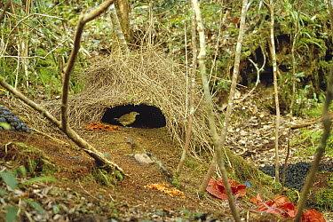 Brown Gardener (Amblyornis inornatus) male and his bower decorated to attract a mate, Arfak Mountains, Irian Jaya, New Guinea, Indonesia  -  Konrad Wothe