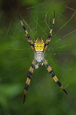 Spider on web, Batanta Island, Irian Jaya, Indonesia
