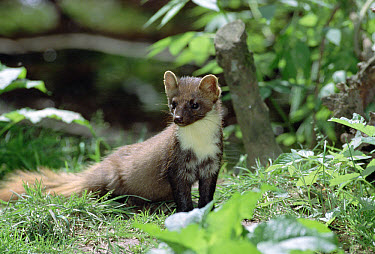 Pine Marten (Martes martes) sitting in grass amongst vegetation, National Park Bayerischer Wald, Germany  -  Konrad Wothe