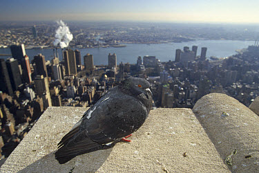 Rock Dove (Columba livia) on Empire State Building, Manhattan, New York  -  Konrad Wothe