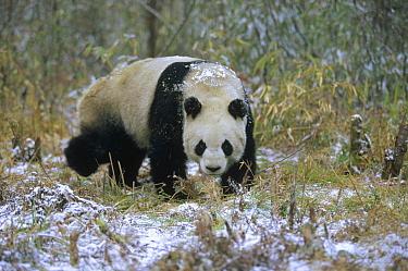Giant Panda (Ailuropoda melanoleuca), Wolong Valley, Himalaya, China  -  Konrad Wothe