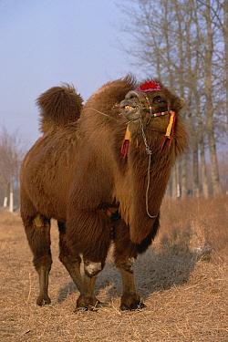 Bactrian Camel (Camelus bactrianus), China  -  Konrad Wothe