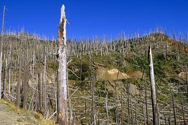 Devastation and regrowth from eruption, Mt Saint Helens National Volcanic Monument, Washington  -  Konrad Wothe