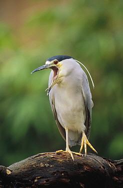 Black-crowned Night Heron (Nycticorax nycticorax) calling, Europe  -  Konrad Wothe